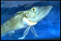 Research links osteoporosis and 'bloodless' icefish